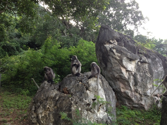 The langurs (also called leaf monkeys) appear from the trees, a little nonchalant at first....