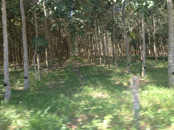 One of so many rubber plantations we cycled through en route.