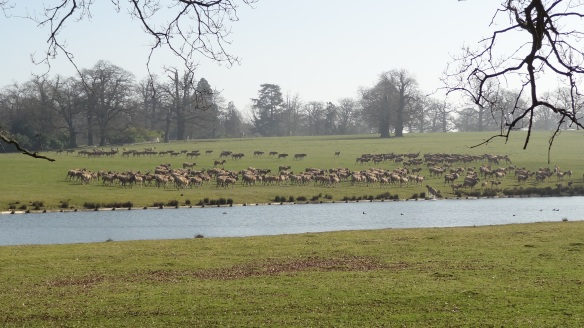 The deer at Woburn Abbey