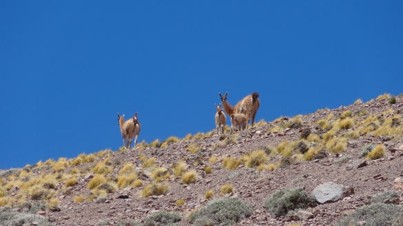 We spot some Guanacos near to camp - these were the only ones we saw all trip.